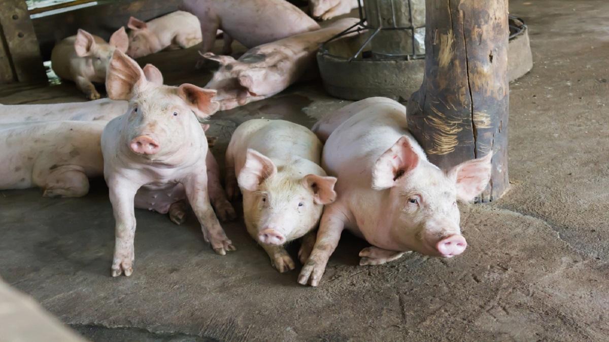 Az afrikai sertéspestissel kapcsolatos legfontosabb információk